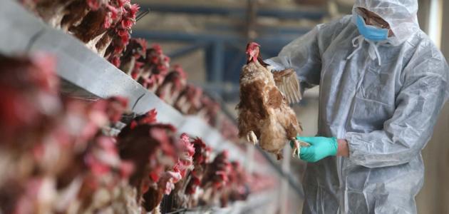 صورة إنفلونزا الطيور وآلية انتقال العدوى