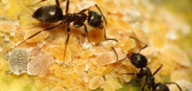 صورة تفسير مواضع النمل في المنام لإبن سيرين