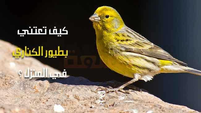 صورة طيور الكناري : كيف تعتني بطيور الكناري في المنزل ؟