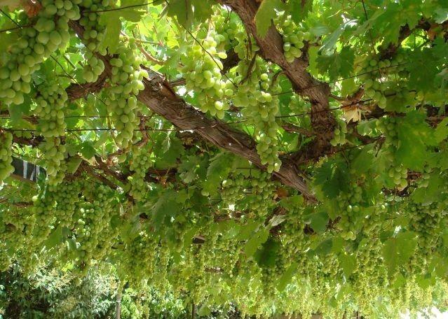 صورة زراعة العنب في حديقة المنزل