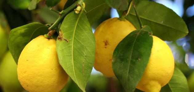 صورة أضرار الليمون على الكلى