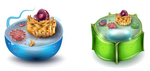 صورة الفرق بين الخلية الحيوانية والنباتية