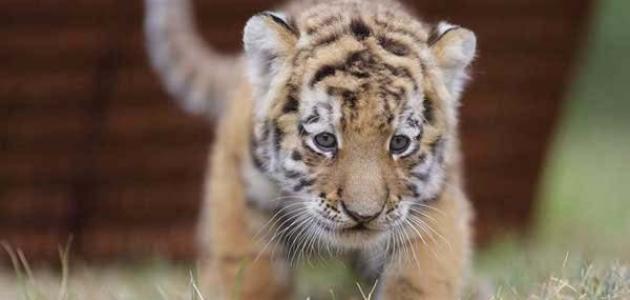صورة صغير النمر