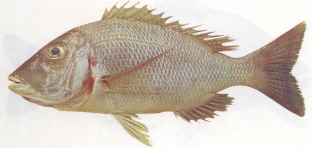 صورة أنواع أسماك البحر الأحمر