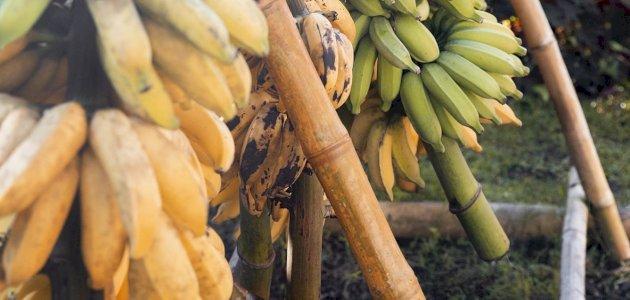 صورة أهمية التيروسين في الموز