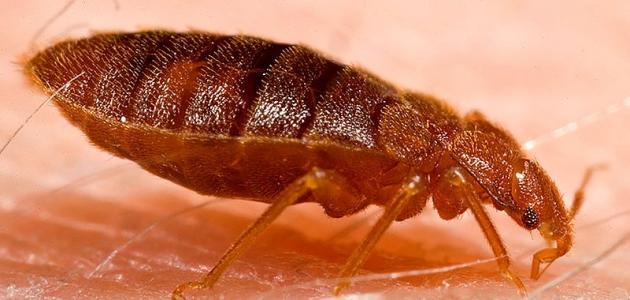 صورة طرق الوقاية من حشرة البق
