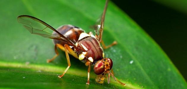صورة طرق مكافحة ذبابة الفاكهة