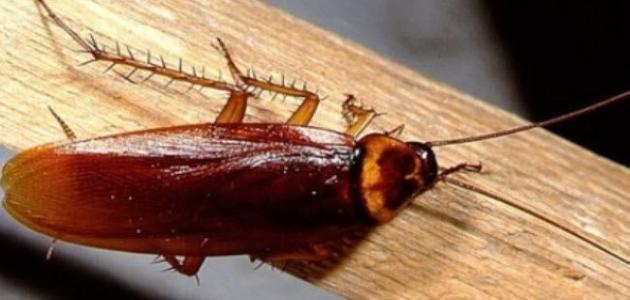 صورة طريقة عمل عجينة للقضاء على الصراصير