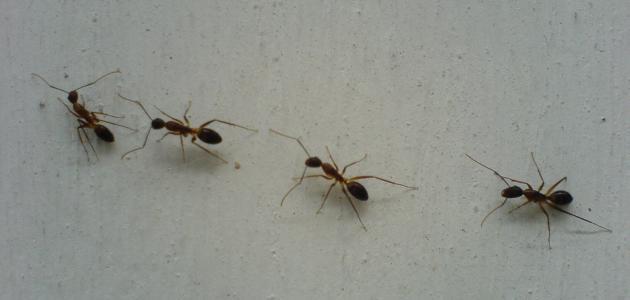 صورة طريقة عمل مبيد للنمل