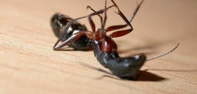 صورة عجائب وغرائب النمل