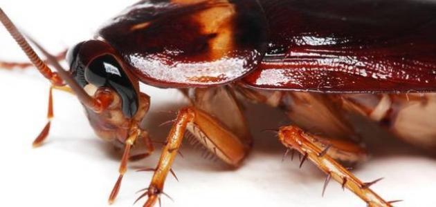 صورة كيف أقضي على الصراصير الصغيرة