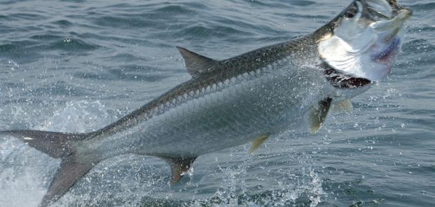 صورة ما أهم الأسماك في المحيط الأطلسي
